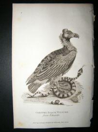 Shaw C1810 Antique Bird Print. Crested Black Vulture